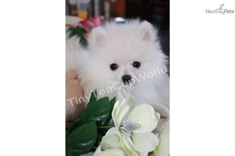 white baby pomeranian for sale white micro teacup pomeranian puppies for sale picture breeds picture