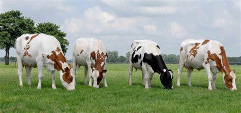 imagenes de vacas blancas holstein abc del finkero