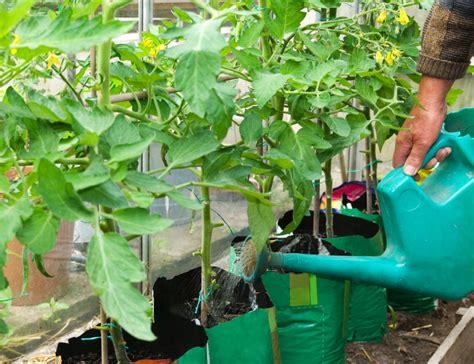 Wie Pflege Ich Tomatenpflanzen 5105 by Tomaten Gie 223 En 187 So Kalkulieren Sie Die Richtige Menge Wasser