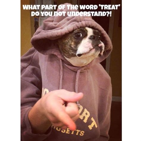 Friday Treat by 17 Best Images About Boston Terrier Memes Dogs And