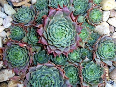 interesting succulents summer with succulents evergreen nursery
