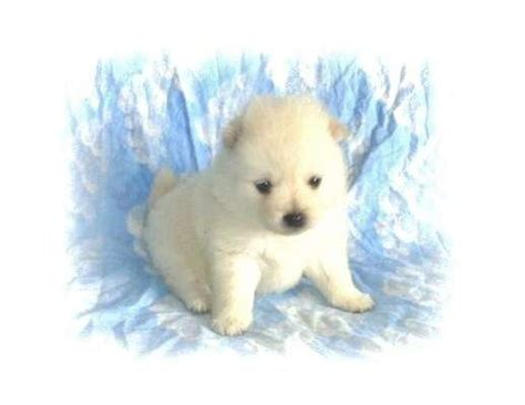 pomeranian puppies for sale wisconsin pomeranian puppies for sale adoption from eau wisconsin images frompo