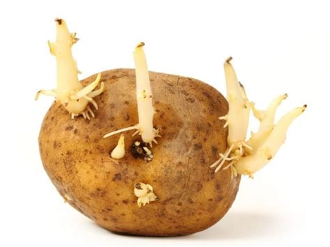 what is potato 8 ways to potato sprouts organic facts