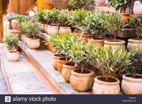planting pots for sale olive trees in terracotta planting pots for sale flower