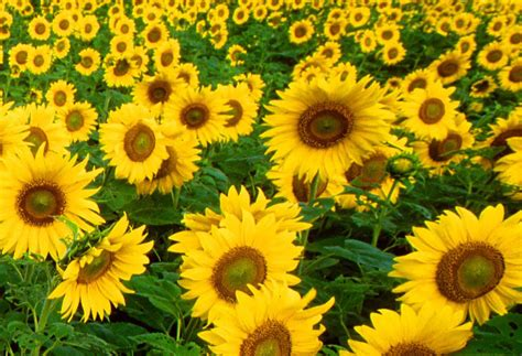 vangogh like sunflowers