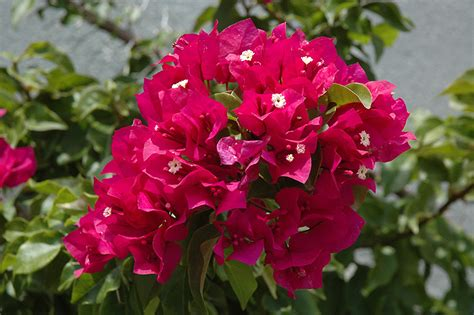 Glow Torch Senter torch glow bougainvillea bougainvillea torch glow in