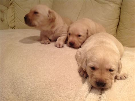 labrador dogs for sale labrador puppies for sale 350 posted 7 months ago for sale