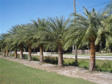 myrtle beach christmas tree farm large selection of trees palms at ta tree nursery