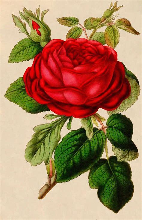 vintage roses beautiful varieties vintage graphic beautiful red rose vintage graphic