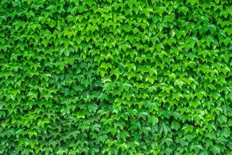 green vine wallpaper free photo ivy vine the leaves plants free image on
