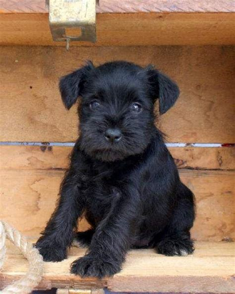 black miniature schnauzer puppies for sale 25 best ideas about black schnauzer on schnauzer puppies miniature