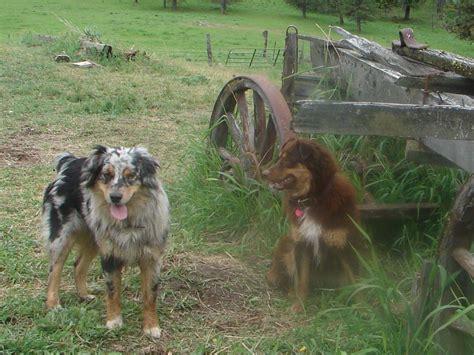 australian shepherd puppies idaho australian shepherd breeder idaho breeds picture