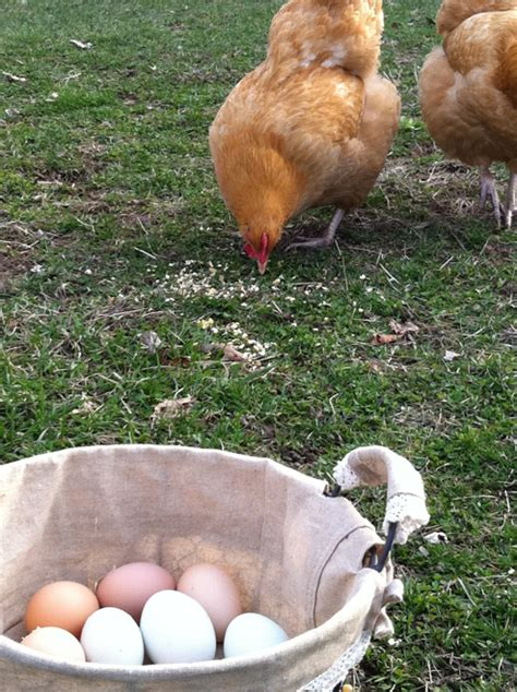 Life With My Backyard Chickens My Blog Marisol Diaz Backyard Chicken Blogs