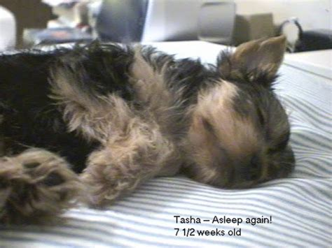teacup puppy cost cost teacup dogs image search results