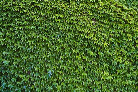 Ivy Pattern Variables | 15 ivy textures psd png vector eps format download