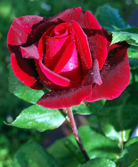 Imagenes Rosas Muy Hermosas | fotos de flores rosas de varios colores