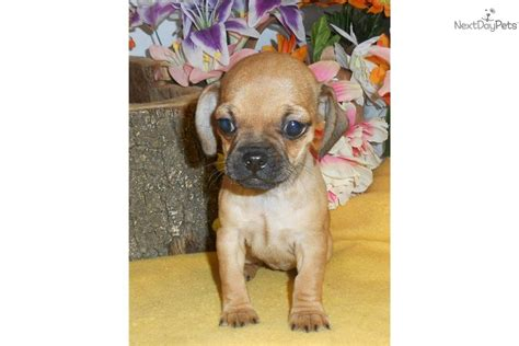 pug cross chihuahua puppies for sale australia pug dachshund mix temperament breeds picture