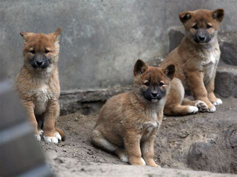 Wolf Home Decor by These Baby Dingoes Born At Berlin S Tierpark