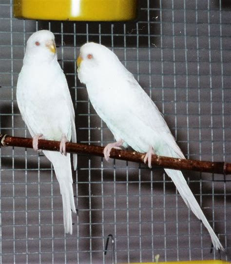 COCKATIELS, BUDGIES, CANARIES, AND FINCHES