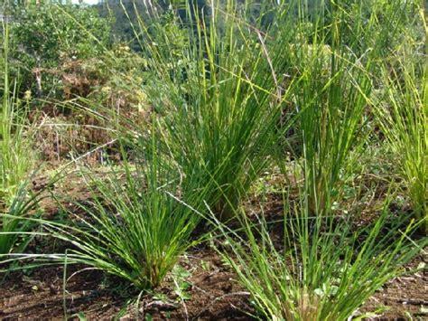 akar wangi mengandung minyak atsiri secara tradisional