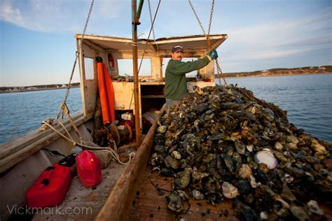 new york times travel section clip wellfleet oystering