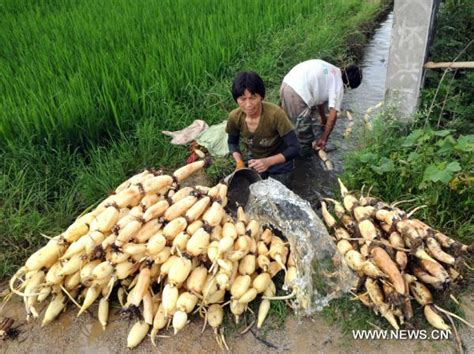 Villagers 3 Lotus Lotus Root Harvest In Sw China China Org Cn
