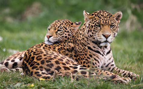 imagenes jaguares de chiapas fondo de pantalla jaguares en la hierba depredadores
