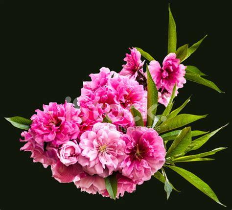 sfondi fiori di pesco fiori di pesco sullo sfondo nero fotografie stock