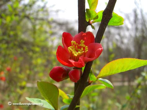 red quince blossom picture