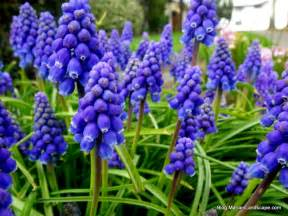 a quintet of hyacinths in the garden with mariani landscape