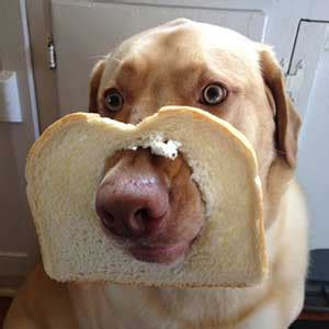 can dogs eat bread can dogs eat bread why this basic treat is best used in moderation