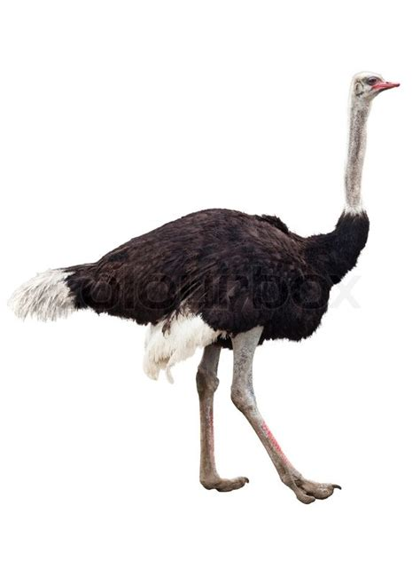 image of the ostrich isolated on white stock photo