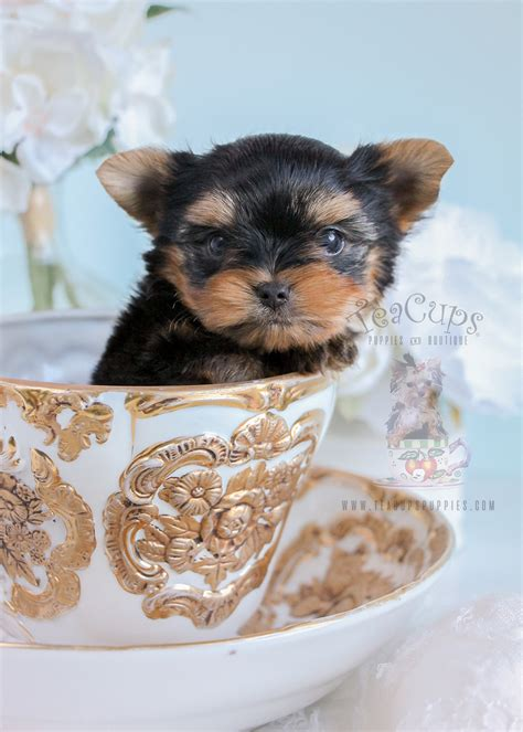 teacup puppies sale mississippi teacup chihuahuas yorkies maltese shih tzus tiny