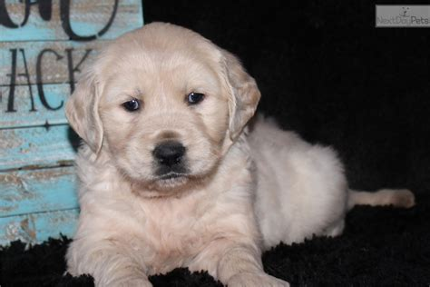 golden retriever puppies in arkansas kate golden retriever puppy for sale near jonesboro arkansas e808af7f a7e1