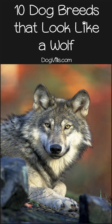 breeds that look like wolves 10 breeds that look like a wolf dogvills