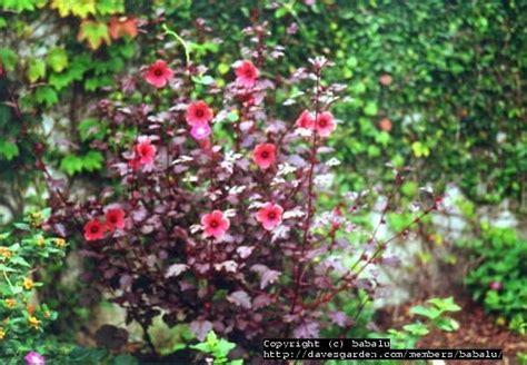 plantfiles pictures hibiscus species red leaf hibiscus