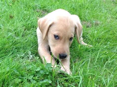 labrador retriever puppies for sale in florida labrador retriever puppies and dogs for sale and adoption breeds picture