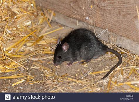ratte im haus schwarze ratte dach ratte haus ratte schiff ratte