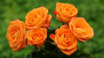 Beautiful Orange Pics Photos Rose Light Orange Beautiful Flower Wallpaper