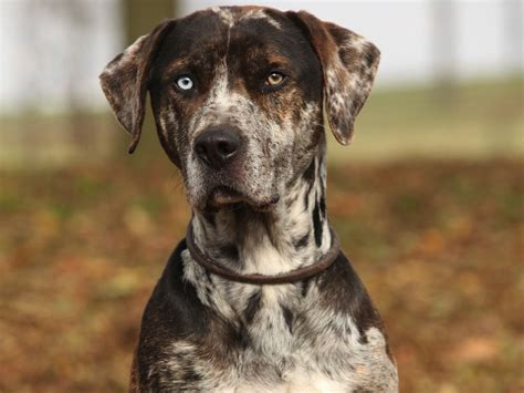catahoula cur 10 cool catahoula leopard facts