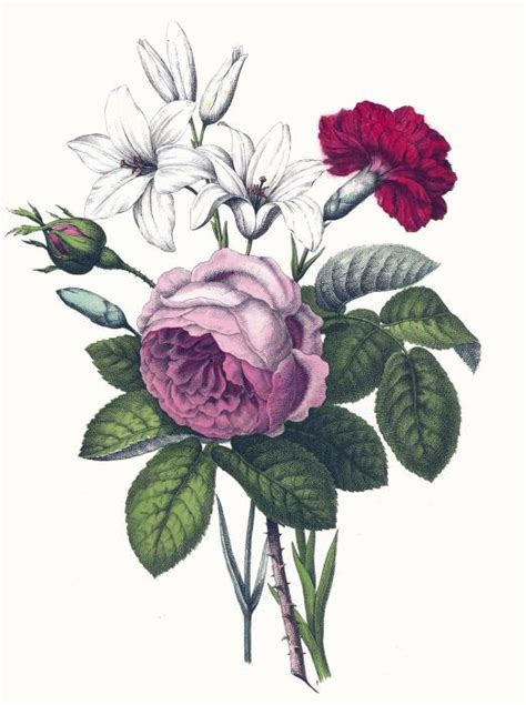 rose and carnation tattoo vintage botanical print of a pink carnation and