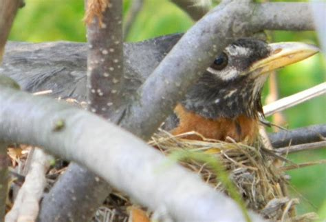 17 best images about robins on pinterest connecticut