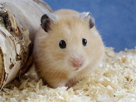 Small Home Animals Hamster The Animals Kingdom