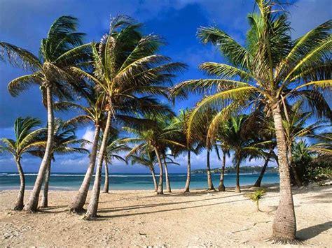 palme da terrazzo pianta palma piante da giardino caratteristiche della