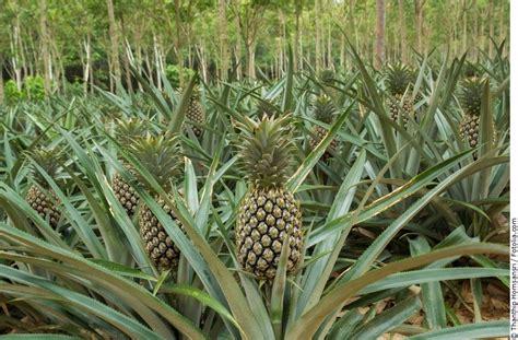 Ananas Pflanzen Pflege 5720 ananas pflanzen pflege ananas pflanze selber ziehen kopf