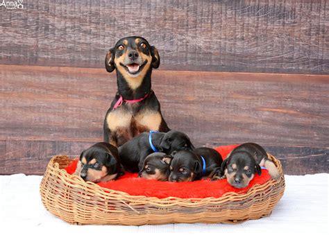 puppy photoshoot maternity photoshoot just gave birth to 5 puppies bored panda