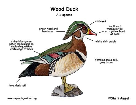 duck diagram pin wood duck nest box plans on