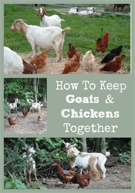 65168 Best Images About Self Sufficiency On Pinterest How To Keep Chickens In Your Backyard