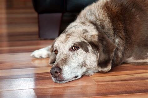 urinary incontinence in dogs urinary incontinence in senior dogs canna pet