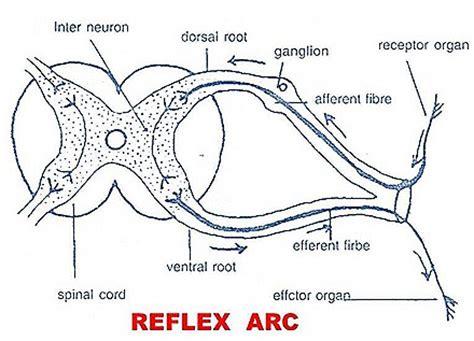 diagram of the reflex arc reflex actions reflex arc biozoom